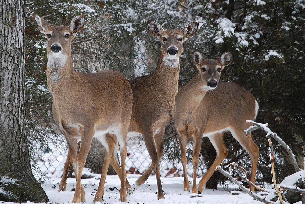VLM-Deer