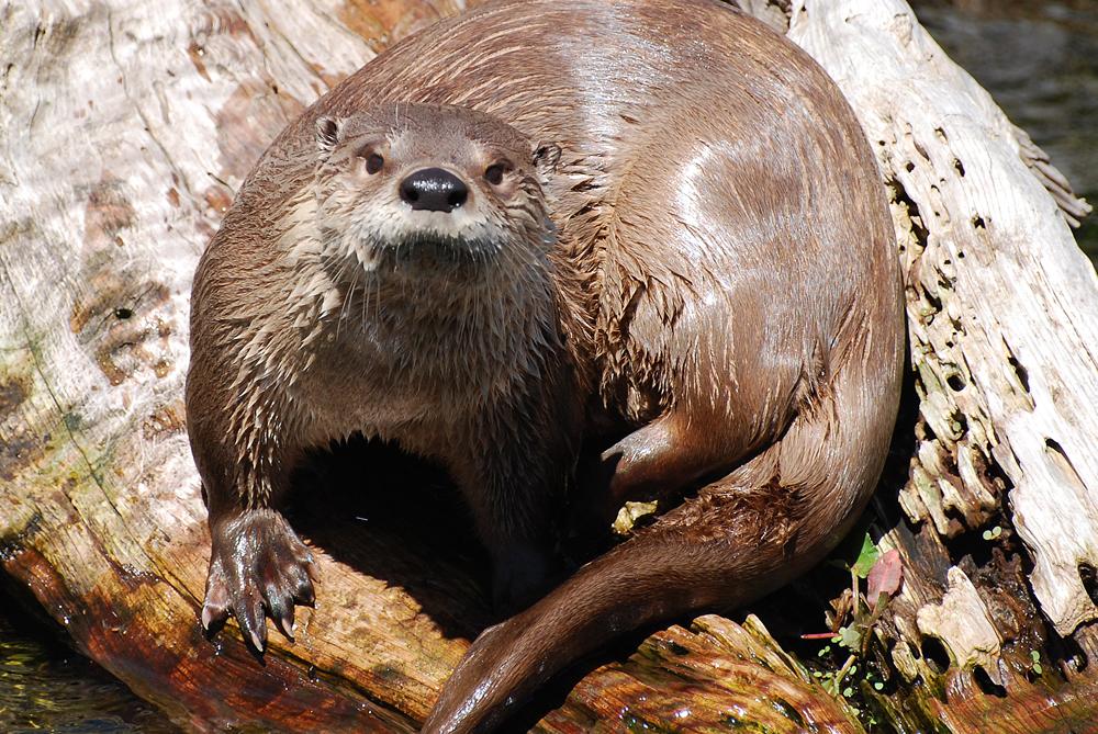 mammals-otter
