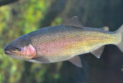 rainbow-trout2